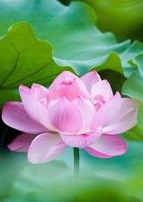 """Набор алмазной мозаики """"Розовый лотос - символ творческой силы"""""""
