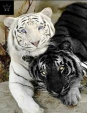 """Набор алмазной вышивки """"Любовная парочка. Тигры"""""""