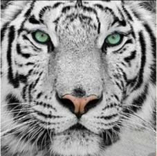 """Набор алмазной вышивки """"Амурский тигр"""""""