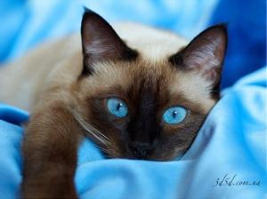 """Набор алмазной вышивки """"Сиамский котик"""""""