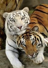"""Набор алмазной вышивки """"Тигр и тигрица"""""""